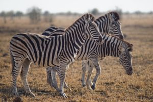 Ehlers-Danlos Syndrome: no two EDS patients are alike, just like no two zebras have the same stripes.